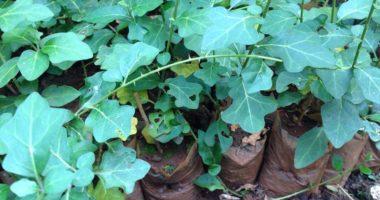 Cách trồng cây cà gai leo đạt năng suất kinh tế cao!