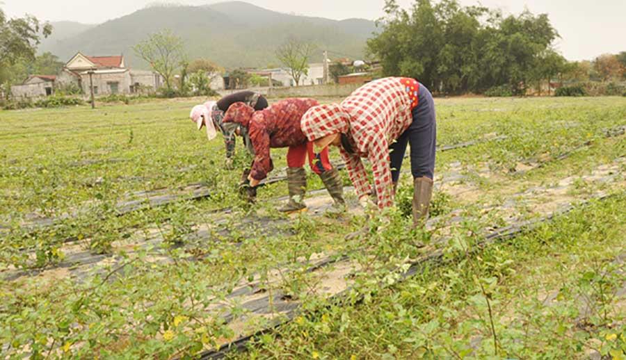 hxt trồng cà gai leo