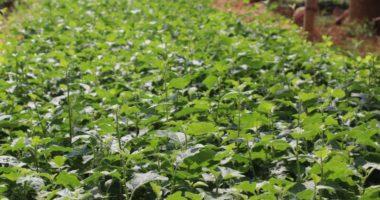 Biện pháp kỹ thuật trồng cây cà gai leo tại Vĩnh Phúc!