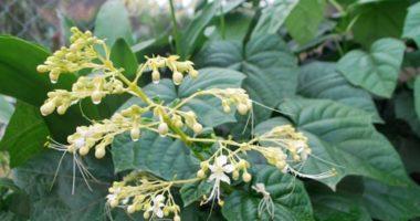 Top những cây thảo dược có công dụng chữa viêm gan!