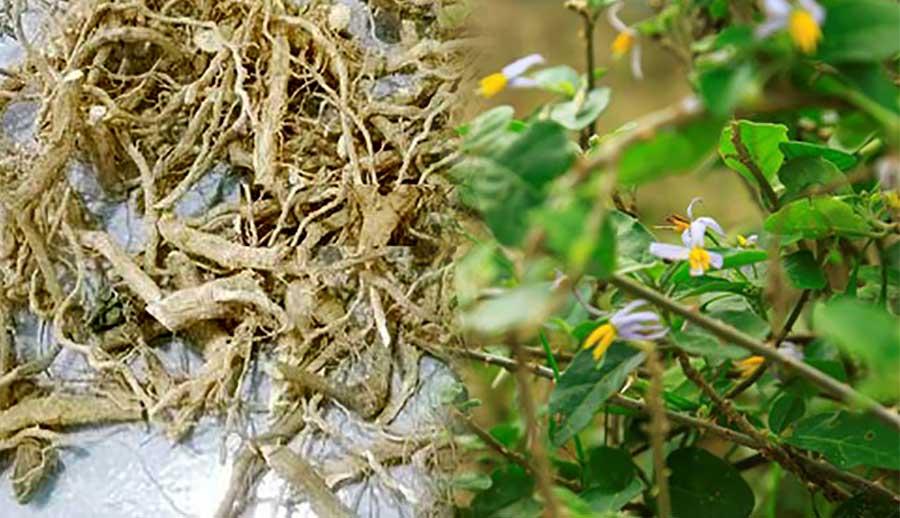 rễ cây cà gai leo