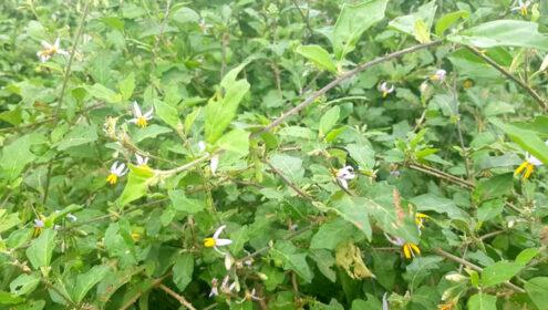Hiện thực hóa giấc mơ bằng mô hình trồng Cây Cà Gai Leo ở Đông Sơn - Thanh Hóa!