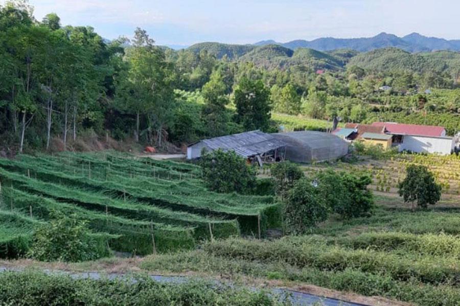 Từ một khu rừng, Diện cùng cộng sự đã biến thành khu trồng dược liệu.